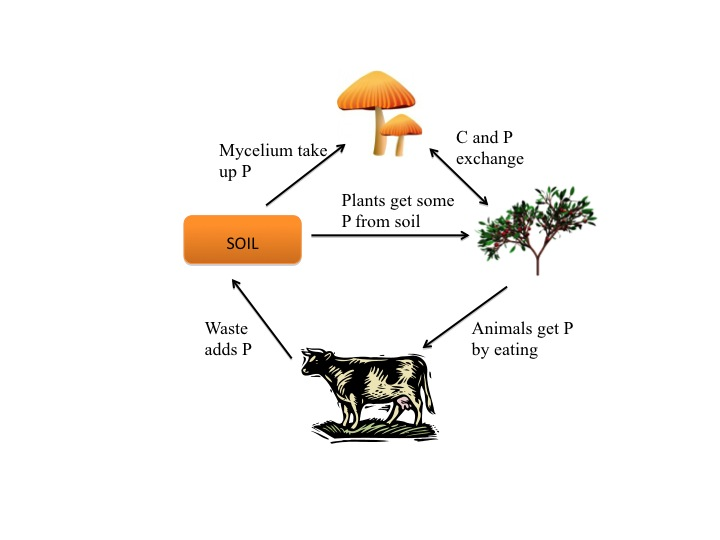 Why Is the Phosphorus Cycle Important